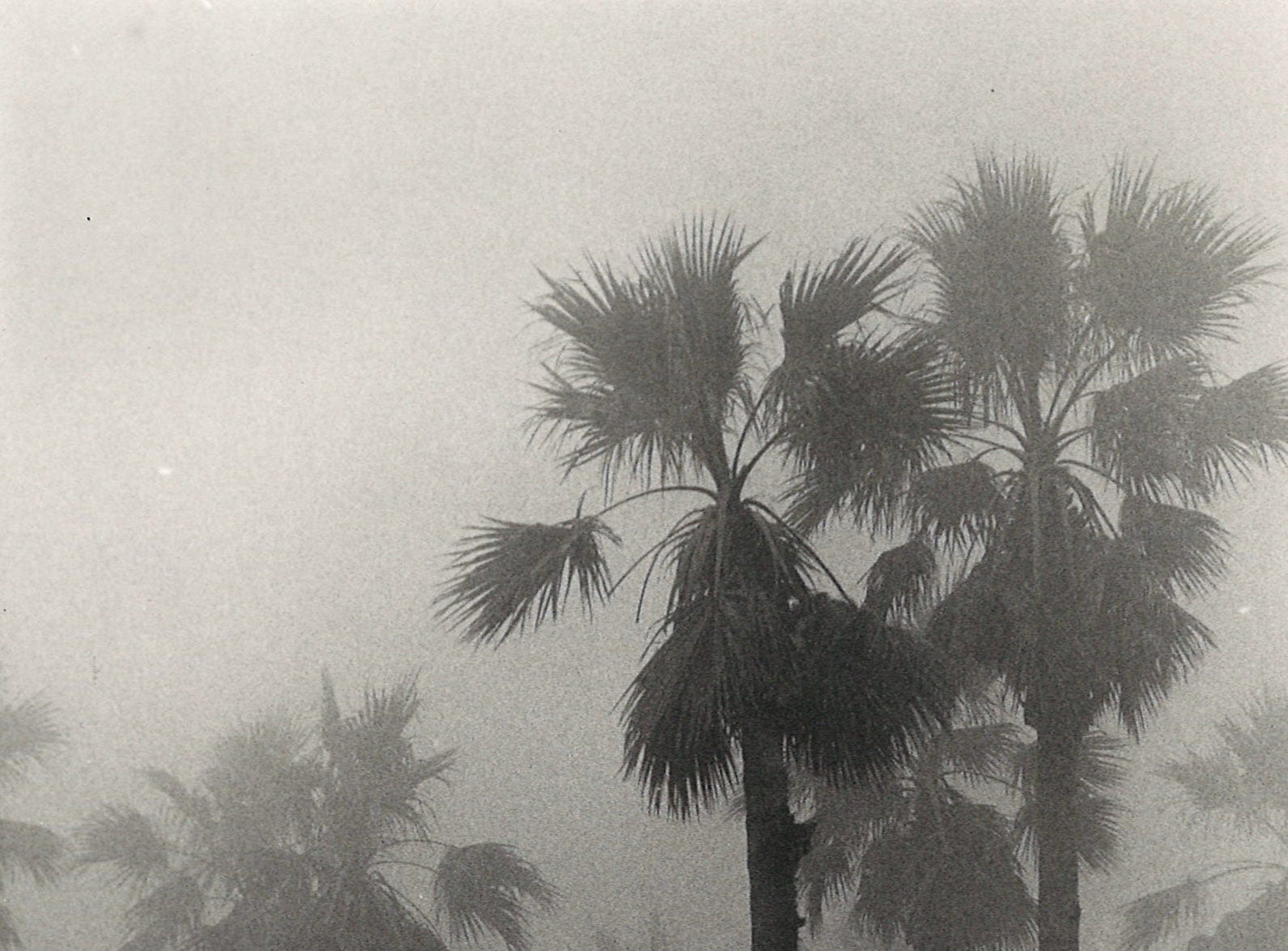 The palm trees in McCaughn Park in Corpus Christi fade into the fog on Jan. 30, 1985.