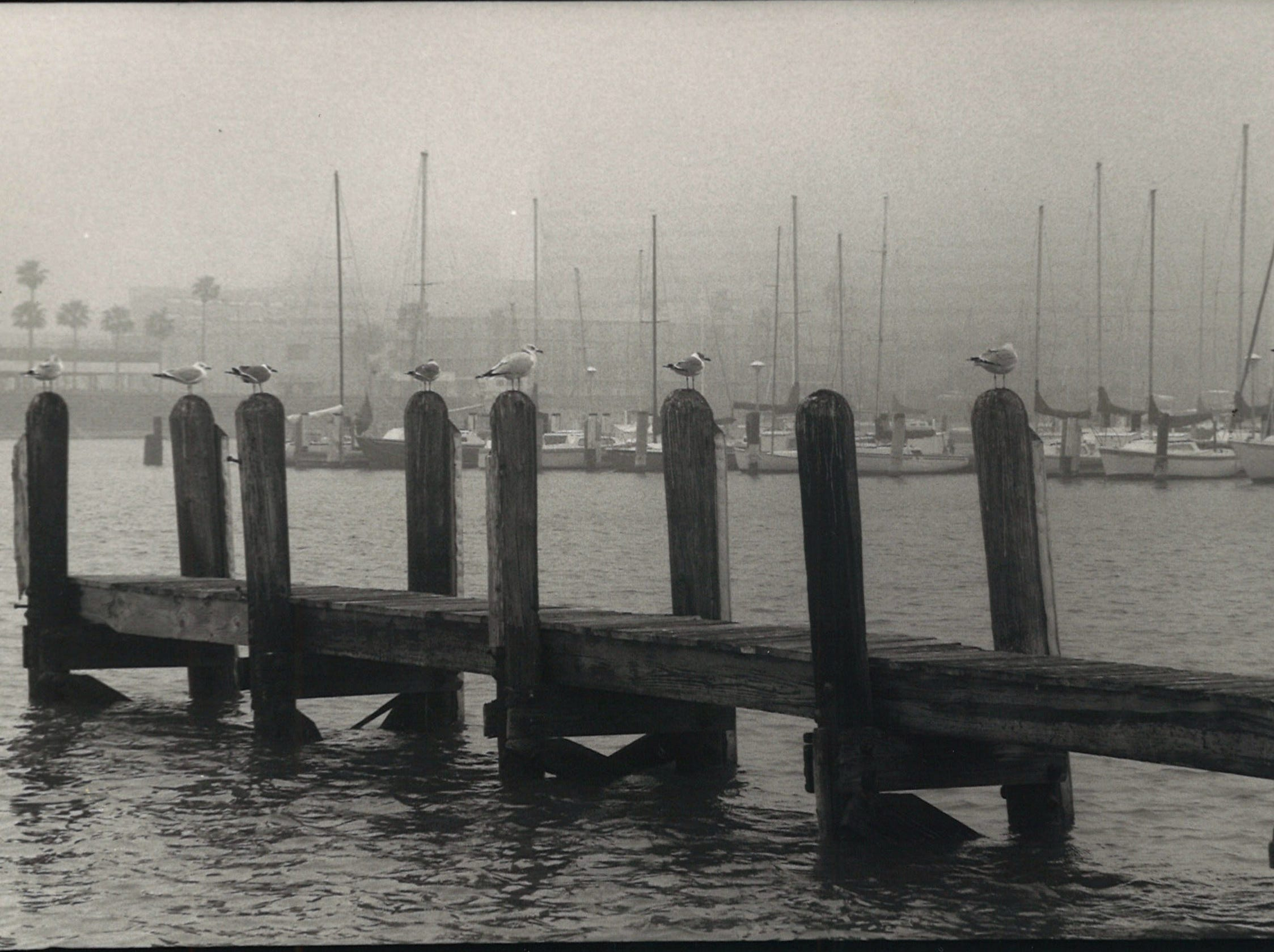Seagulls sit on the dock pilings in the Corpus Christi Marina on a foggy day in December 1984.