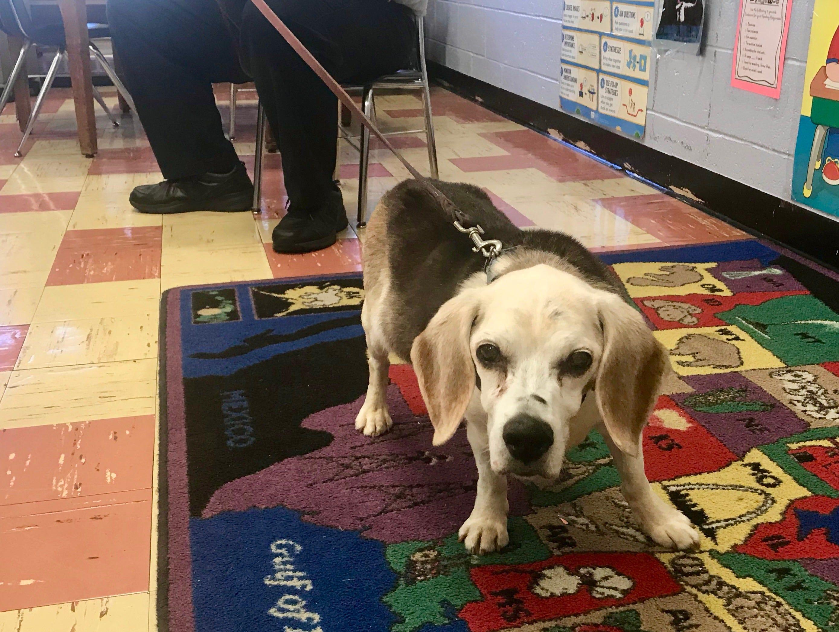 Buster exploring Casey Mulroe's third-grade classroom at Deerfield School No. 9.