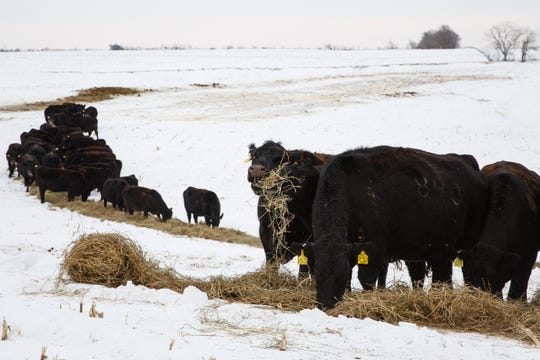 Cows feed on hay rolled out by Dan Hanrahan on Tuesday, Feb. 26, 2019 in Cumming. The cows in this field usually feed on corn stalks leftover from the year before but hay is used to supplement their nutrition.