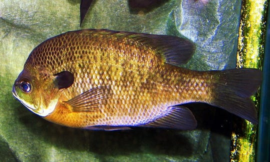 The bluegill sunfish has a lateral line  arching over its black flap on the gill cover.