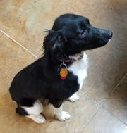 This 10-month-old Brittany Spaniel needs a forever home.