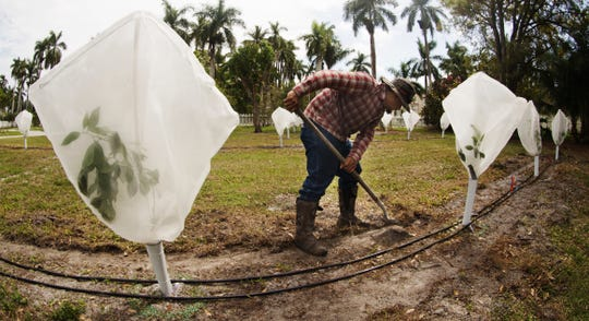 Andres Velazquez of old Florida Citrus works on the new citrus grove at the Edison & Ford Winter Estates on Tuesday 2/26/2019. They are unveiling the Ford Citrus Grove on Wednesday with an event for local dignitaries and members of the citrus industry who will speak about the industry. The grove consists of approximately 50 trees, demonstrating different varieties of citrus, including Valencia and Midsweet. Grove signage and interactive displays will help visitors learn about Florida citrus, Edison and Ford's interest in agriculture, and the economic importance of the citrus industry today. IFAS outfitted the trees with defenders, a technology that combats pests especially citrus greening on young trees.