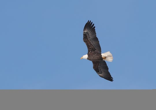A bald eagle soars over the mouth of the Fox River on Jan. 30, 2018 in Green Bay. Over a dozen eagles were using the warm waters near the Pulliam Power Plant to fish for their dinner on a winter day.