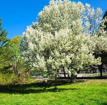 Grab your chainsaw and end this Bradford pear curse once and for all