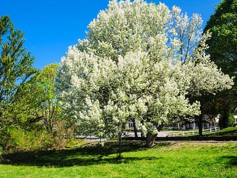 The curse of the Bradford pear: These pretty trees can be a menace to people and the environment