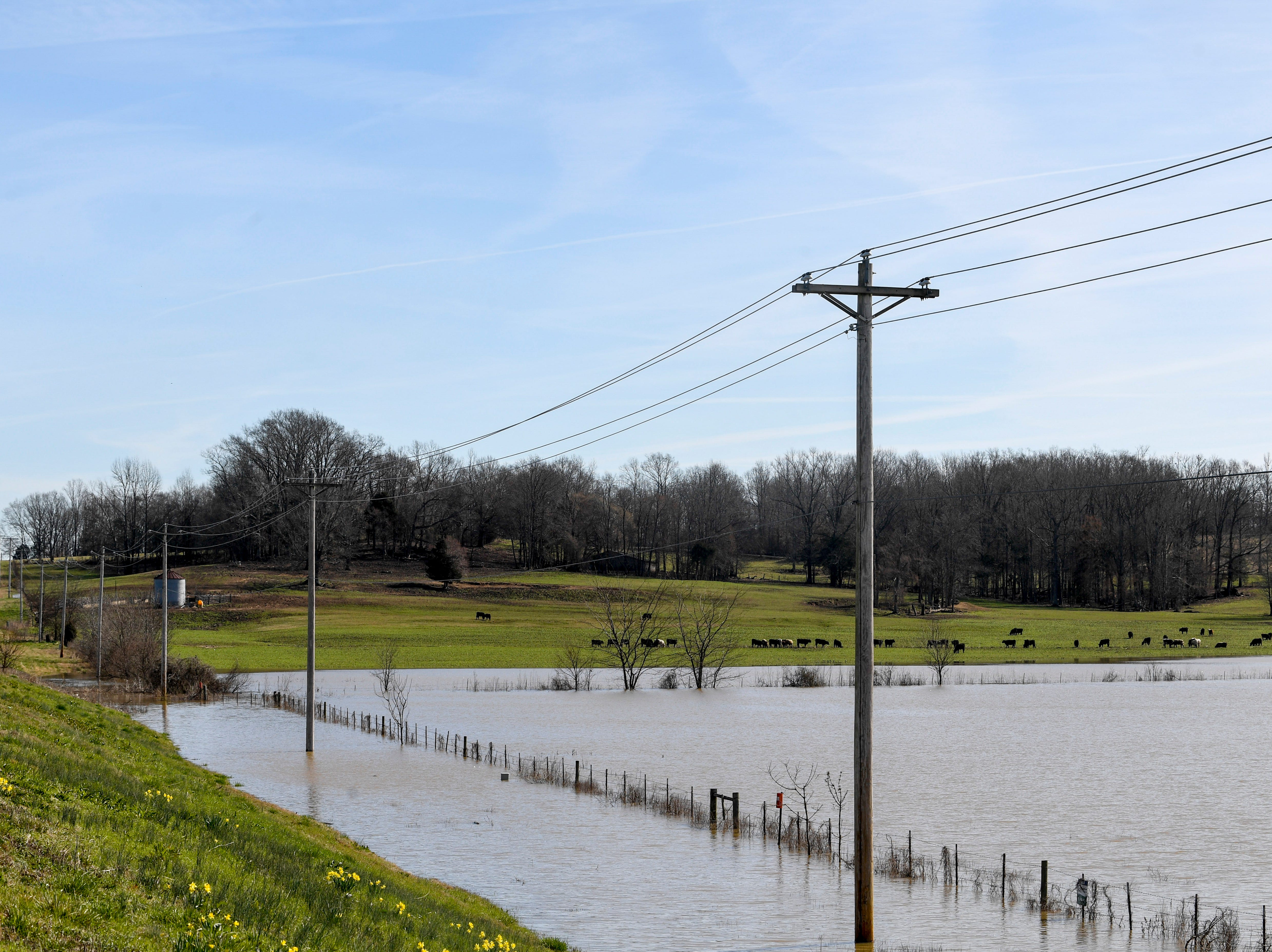 Cows can be seen grazing in fields flooded by water from an adjacent river along US 412, in Lexington, Tenn., on Monday, Feb. 25, 2019.