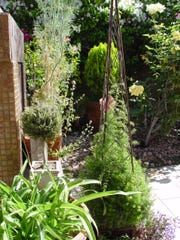 A metal trellis planted with Sprengeri takes advantage of its long stems to train upwards.