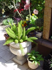 Meyersii asparagus are the perfect plant for pedestal urns.