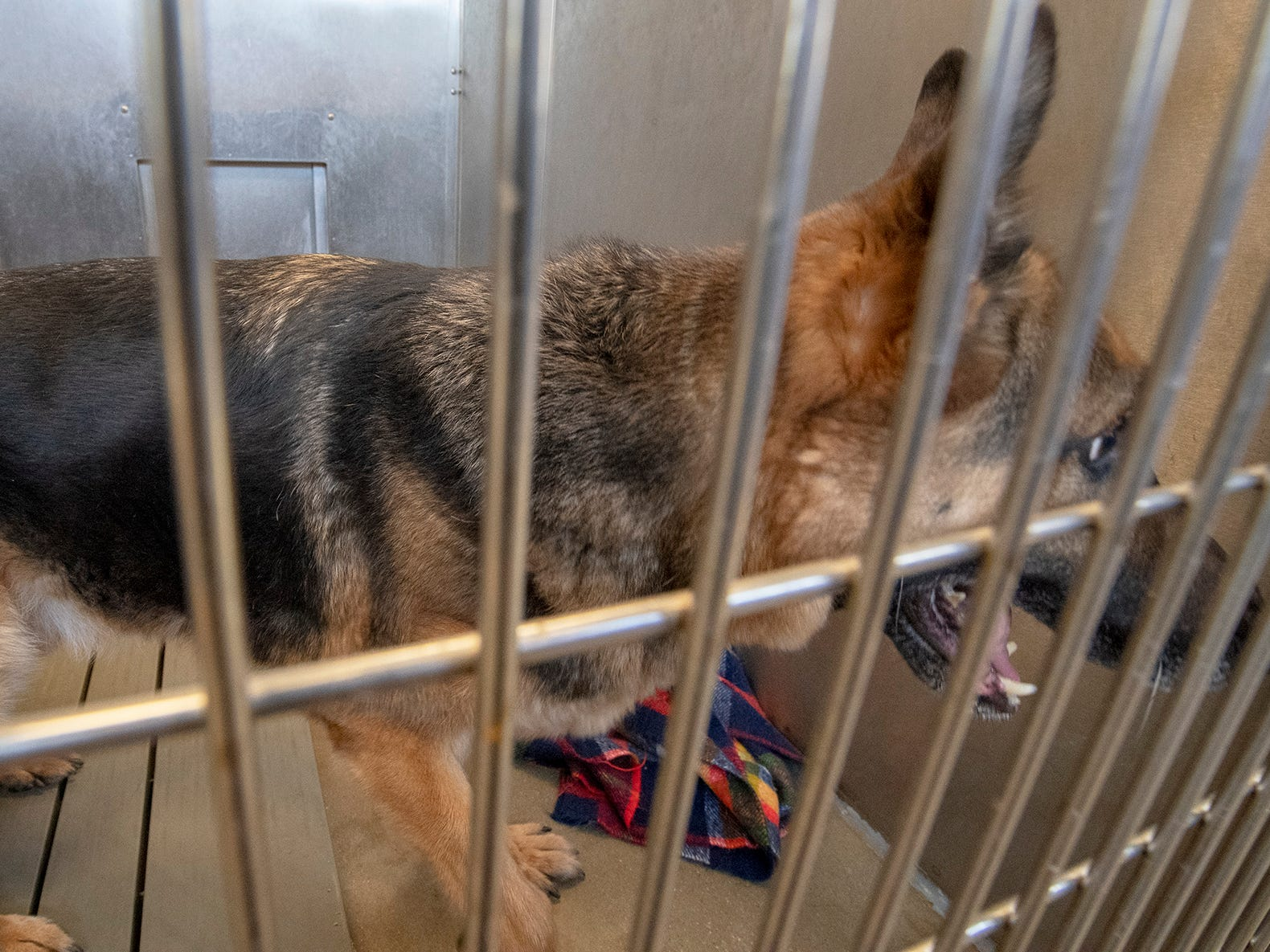 Tiger is an 8-year-old German Shepherd who was brought to the shelter because his owner didn't have enough time for him. He has lived with kids and cats, but is nervous with other dogs. Tiger is looking for someone with experience with Shepherds and is available for adoption at the York County SPCA Tuesday February 26, 2019.