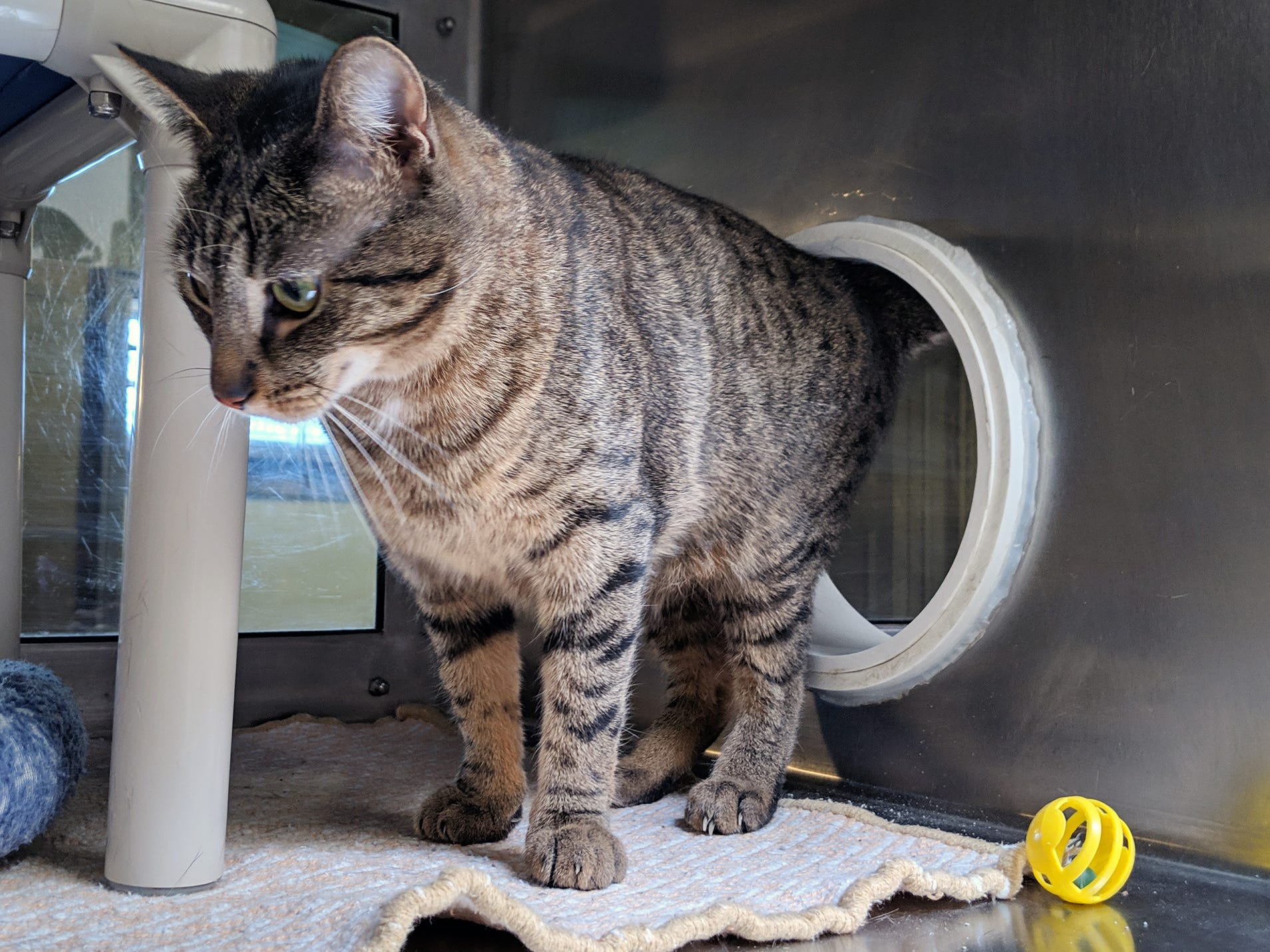 Norman is a 1-year-old brown tabby who was found on Little John Road in North Codorus Township as a stray. He is available for adoption at the York County SPCA Tuesday February 26, 2019.