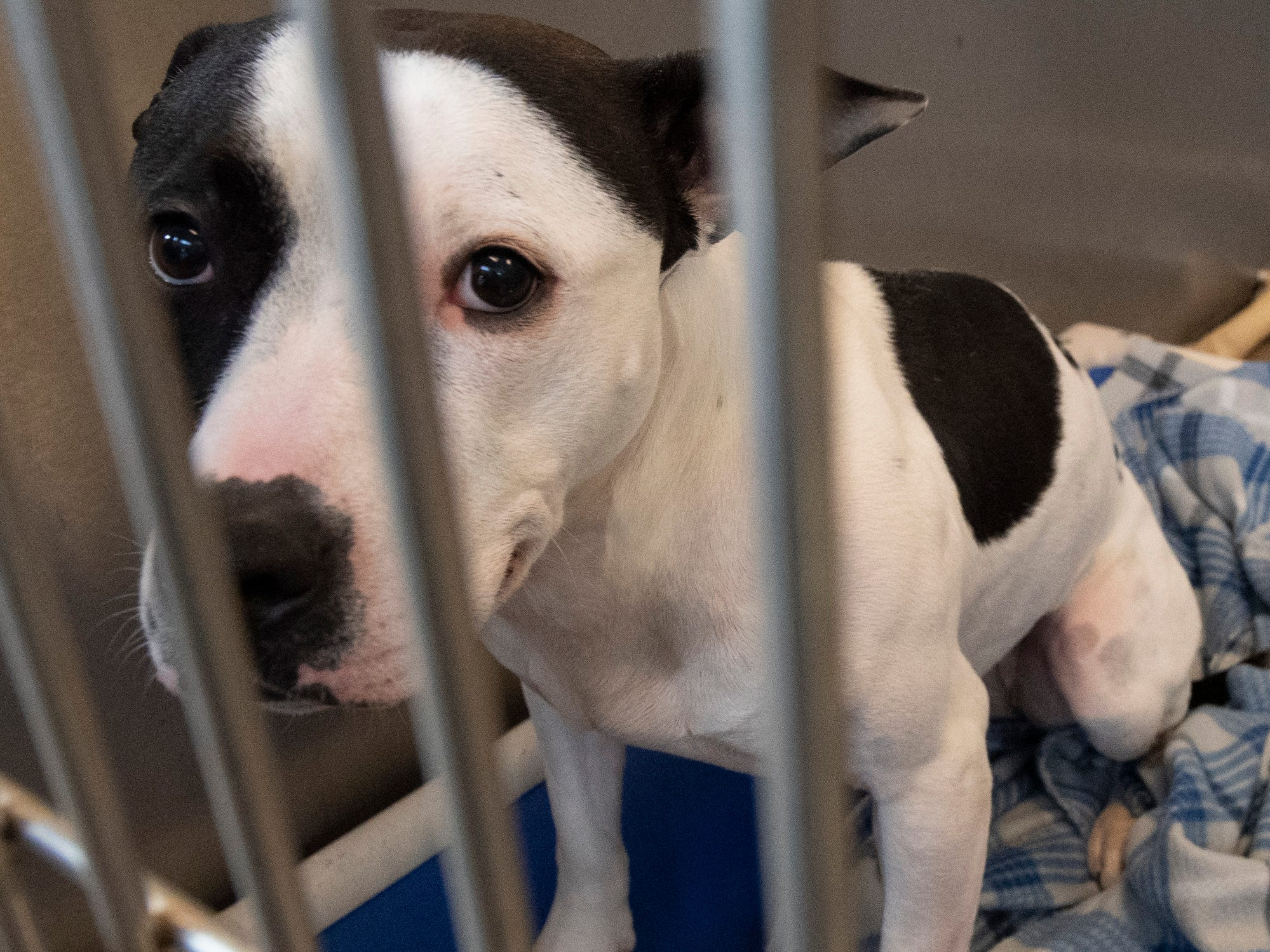Stella is a 5-year-old Pit Bull who was returned to the shelter because her owner no longer had a place to live. Stella lived with cats, children and gets along with other dogs as well. She loves attention all the time and is available at the York County SPCA Tuesday February 26, 2019.