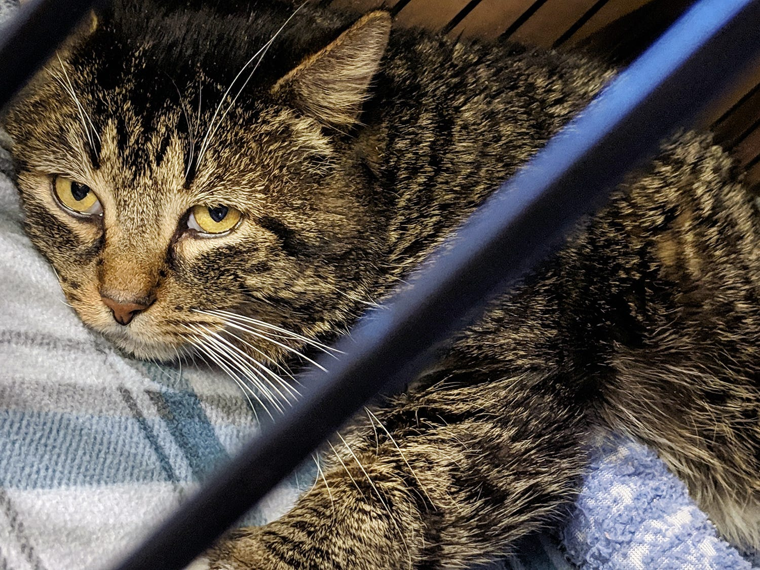 Hunter is a 3-year-old brown tabby who was found on Hunter Creek Drive in Conewago Township. He is a very sweet and affectionate boy and is available for adoption at the York County SPCA Tuesday February 26, 2019.