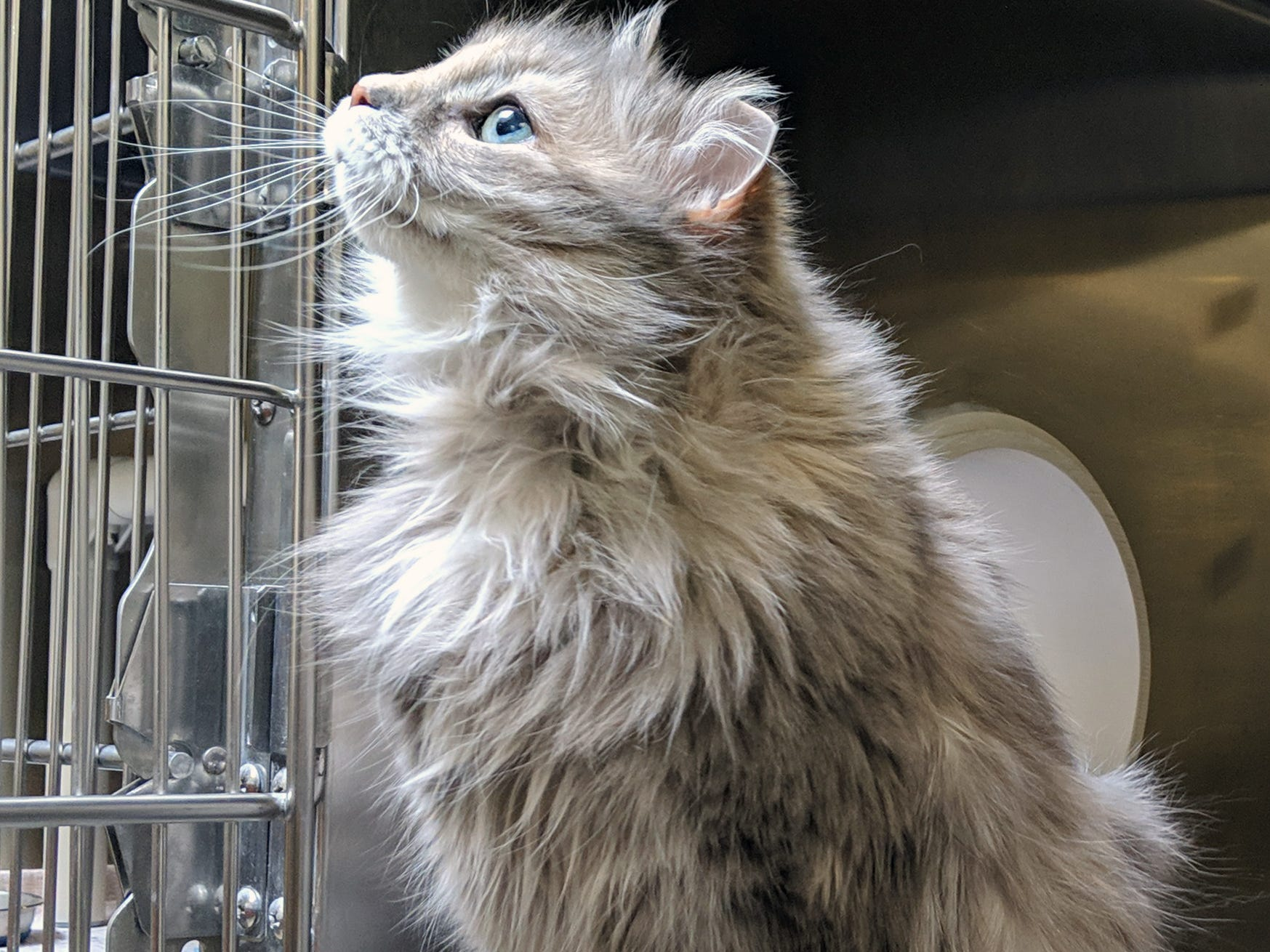 Lemon Chiffon is between 1-5 years old. She is a fuzzy gray calico cat who was found in Hanover on Broadway and is available for adoption at the York County SPCA Tuesday February 26, 2019.