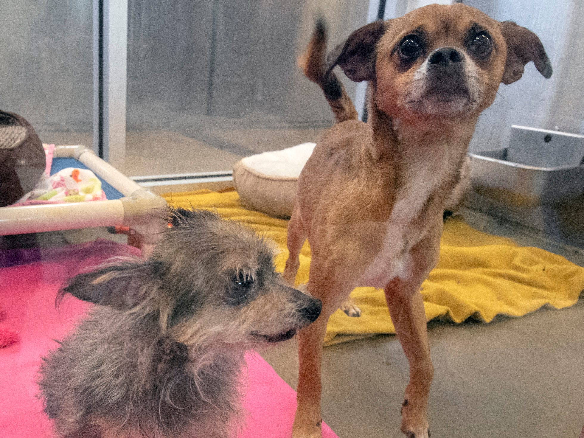 Chico, left, is a 12-year-old Yorkshire Terrier and Chance is a mixed, 5-year-old Chihuahua who are a bonded pair available for adoption at the York County SPCA Tuesday February 26, 2019. The pair were brought into the shelter because their owner moved and couldn't take them. They have lived with a 6-year-old child and did ok, but was a little nervous. The have lived with another dog and a cat who they liked.