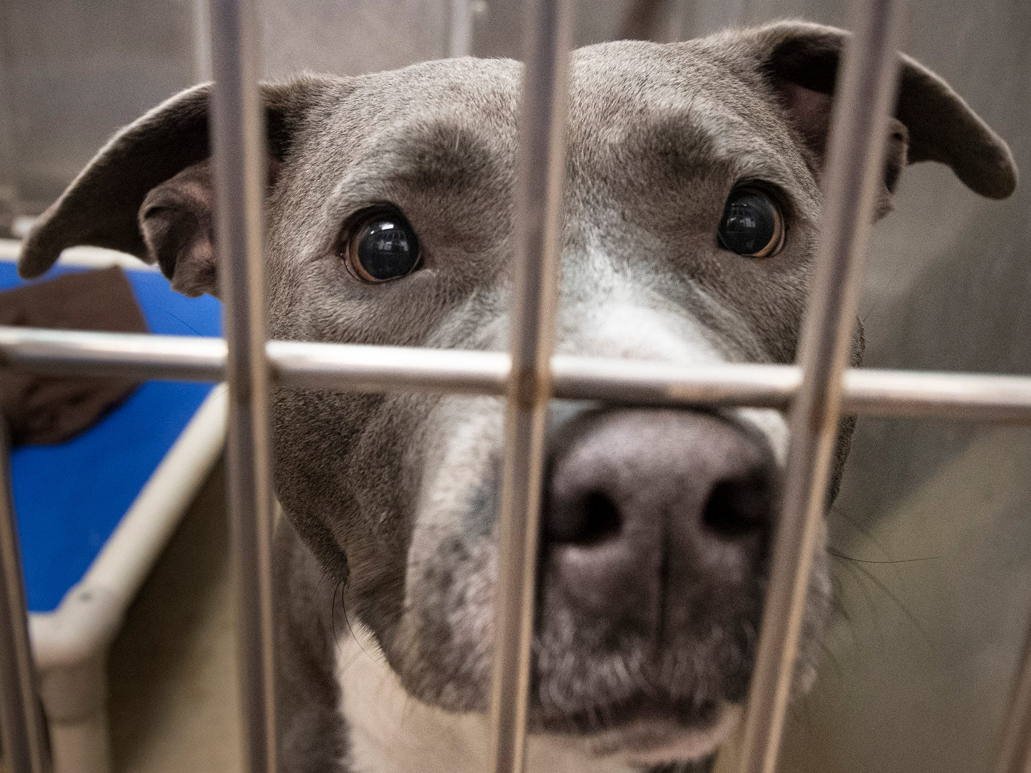 Willow is a female blue Pit Bull who was found on Main Street in Windsor Township. She is not good with cats. She is available for adoption at The York County SPCA Tuesday February 26, 2019.