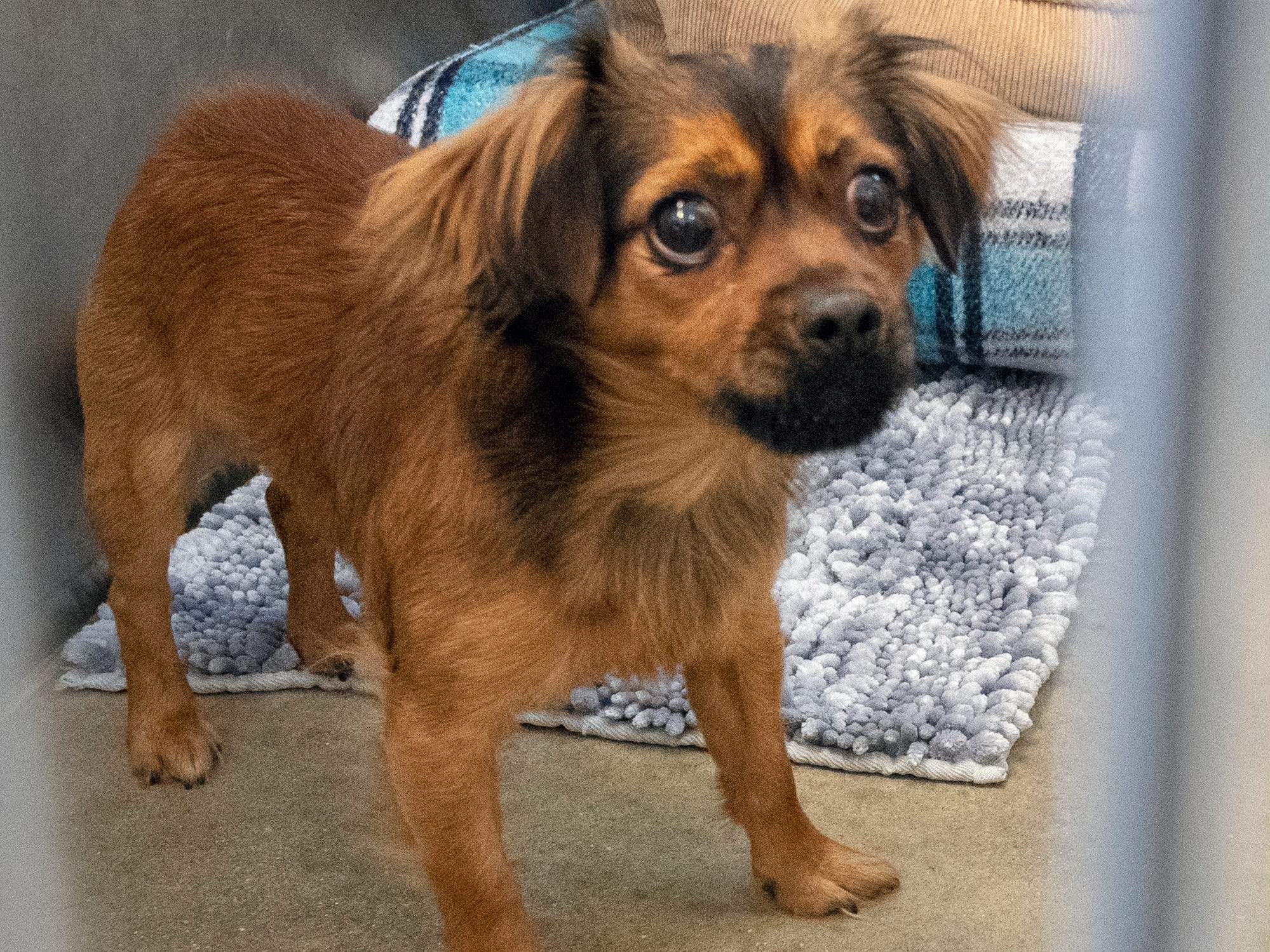 Oso, a 2-year-old mixed Chihuahua, was brought to the shelter because he was not allowed in the owner's home. He has lived with cats in the past and would do best in a home with older kids. He is available for adoption at the York County SPCA Tuesday February 26, 2019.