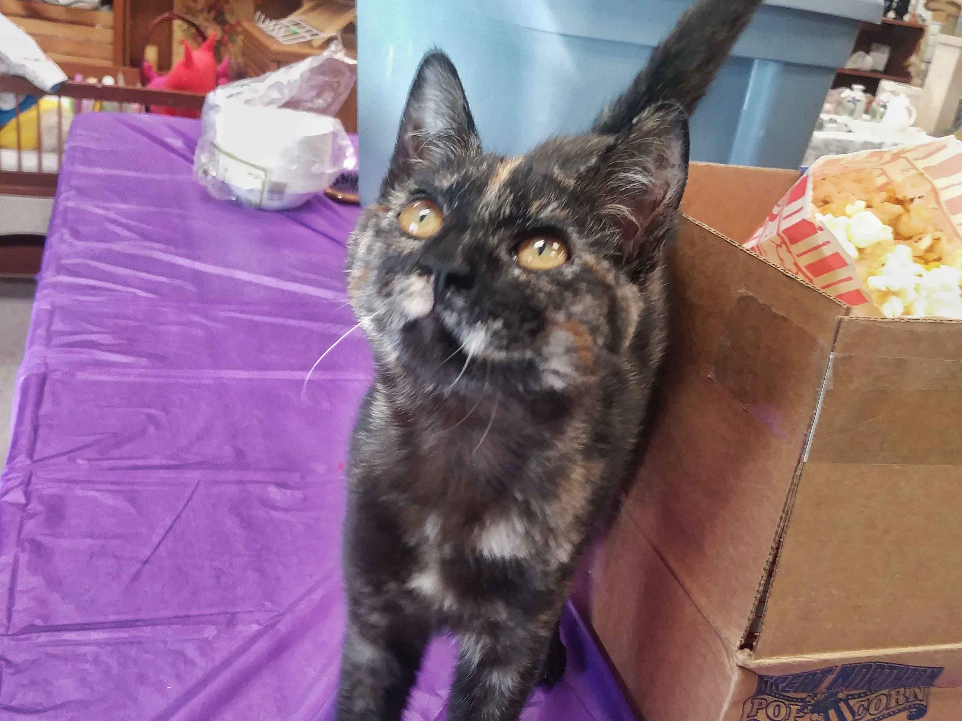 Dixie is a 5-month-old female kitten with beautiful tortoiseshell markings and big golden eyes. She's a very playful and talkative girl. Email Spay Neuter and Protect at Snap.spayneuterandprotect@gmail.com. Call 209-6966.