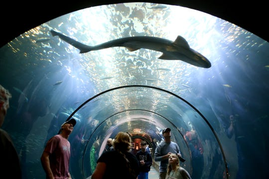 A broadnose sevengill shark swims over guests in the Open Sea exhibit at the Oregon Coast Aquarium in Newport on Thursday, June 21, 2018.
