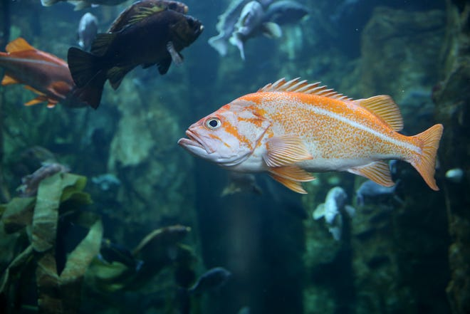 A rockfish on display in the Halibut Flats display at the Oregon Coast Aquarium in Newport.