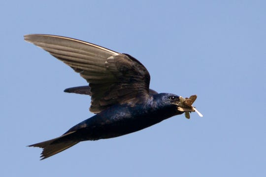 A purple martin with a beak full of insects. The birds are voracious insect eaters and typically catch their prey at an altitude of 1,000 feet or more.