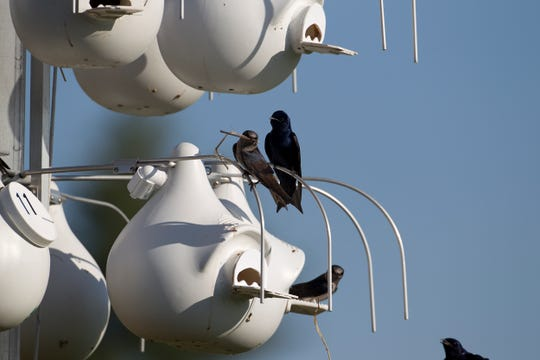 The purple martins of Forest Park build nests in boxes managed by John Miller.