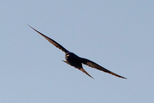 Purple martins are the biggest swallows that inhabit Missouri.