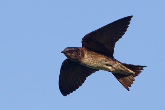 A purple martin zooming above  Forest Park in St. Louis.