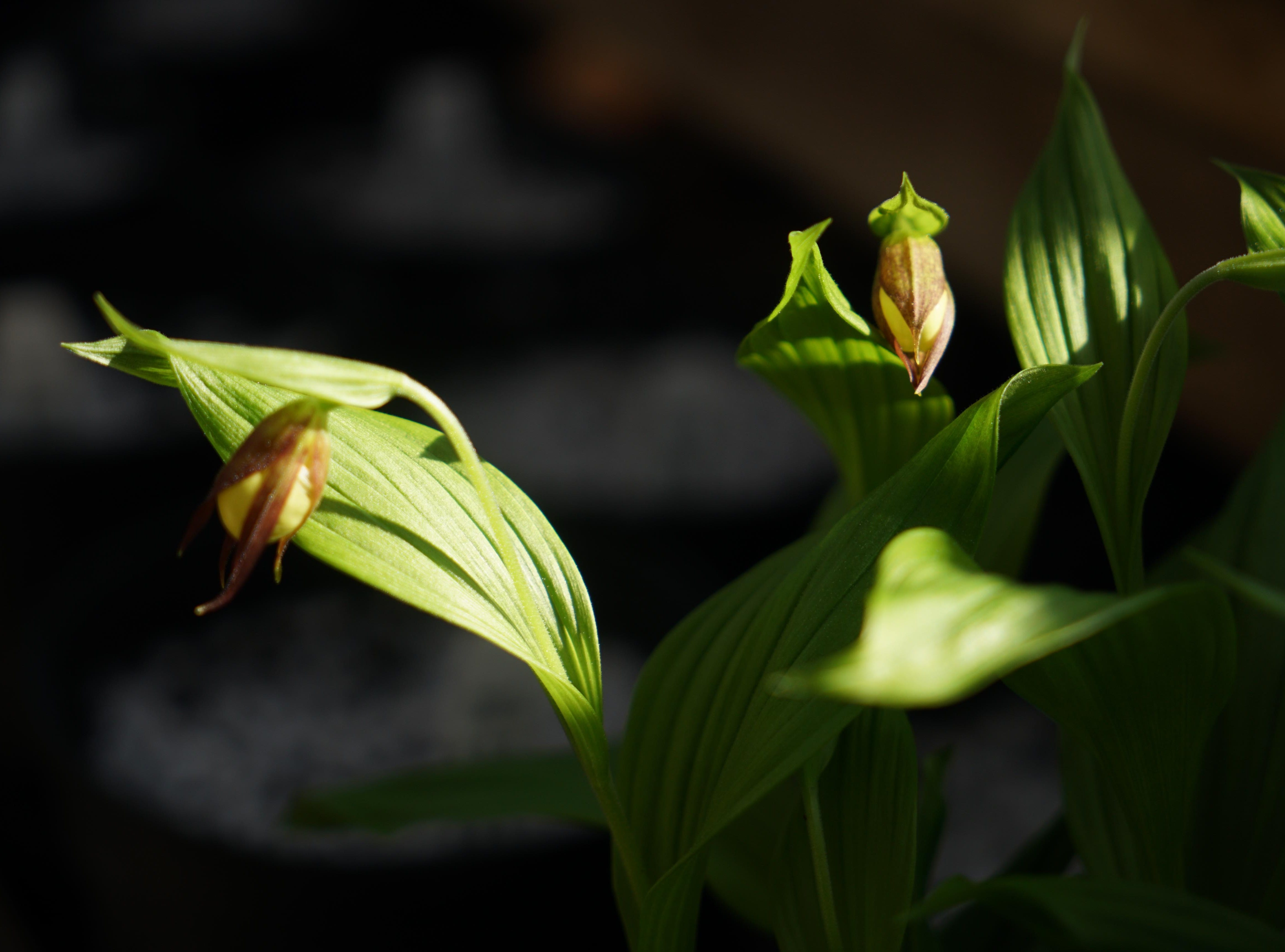 An orchid native to Delaware blooms in a greenhouse at Mt. Cuba Center.