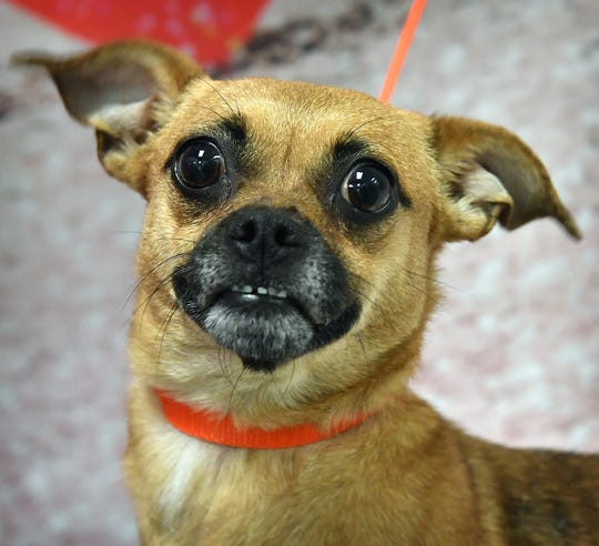 Rosie is a two-year-old, tan, Chihuahua- Pug mix. She is loves children and is very sweet. Rosie is available for adoption at the Wichita Falls Animal Services Center.