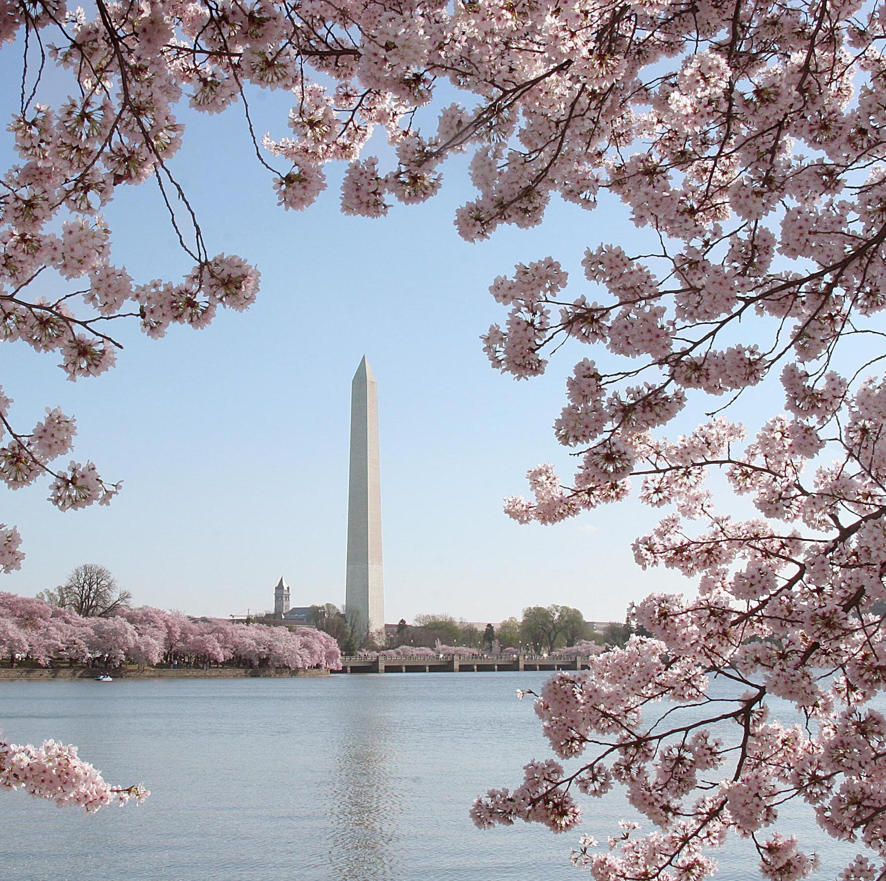 TOPSHOT - The Washington Monument is seen amid blooming cherry trees 02 April, 2006 in Washington, DC. The famous blooming of the cherry trees around the Tidal Basin , a gift from Japan in 1912, has come to symbolize the natural beauty of our nation's capital city. Hundreds of thousands of city residents and visitors from across the nation and around the world come here to witness the spectacle, hoping that the trees will be at the peak of bloom for the Cherry Blossom Festival, Washington, DC.'s rite of spring. AFP PHOTO/Karen BLEIER / AFP PHOTO / KAREN BLEIERKAREN BLEIER/AFP/Getty Images ORIG FILE ID: 550824452