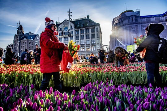 People pick up tulips at the National Tulip Day on the Dam, Amsterdam, on January 19, 2019. - The event is the official start of the international tulip season which runs until the end of April. (Photo by Robin Utrecht / ANP / AFP) / Netherlands OUTROBIN UTRECHT/AFP/Getty Images ORG XMIT: 68977227 ORIG FILE ID: AFP_1CE2EI