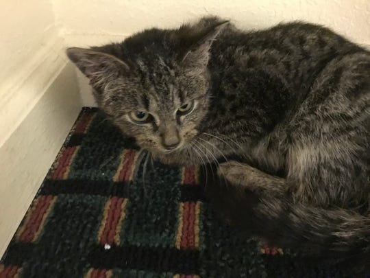 Prince Purple Rain was saved from the flood and storms that threatened Clarksville on Sunday morning, Feb. 24. He was treated for severe malnourishment, worms and tested positive for feline leukemia but with proper treatment can live a fairly normal life and still have good years ahead of him.