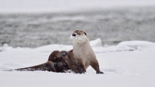 "An episode of the new series ""Epic Yellowstone"" follows a family of river otters, including one pup that loses the rest in a blizzard and has to outrun a coyote."