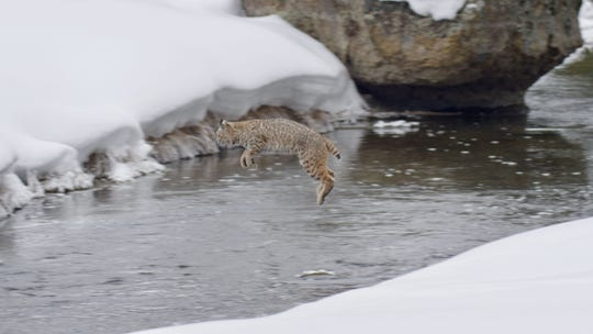 "In one episode of ""Epic Yellowstone,"" filmmakers followed a bobcat who hunted ducks in the Madison River, an unusual niche for the species. Typically the cats avoid areas of deep snow and plunging into water."
