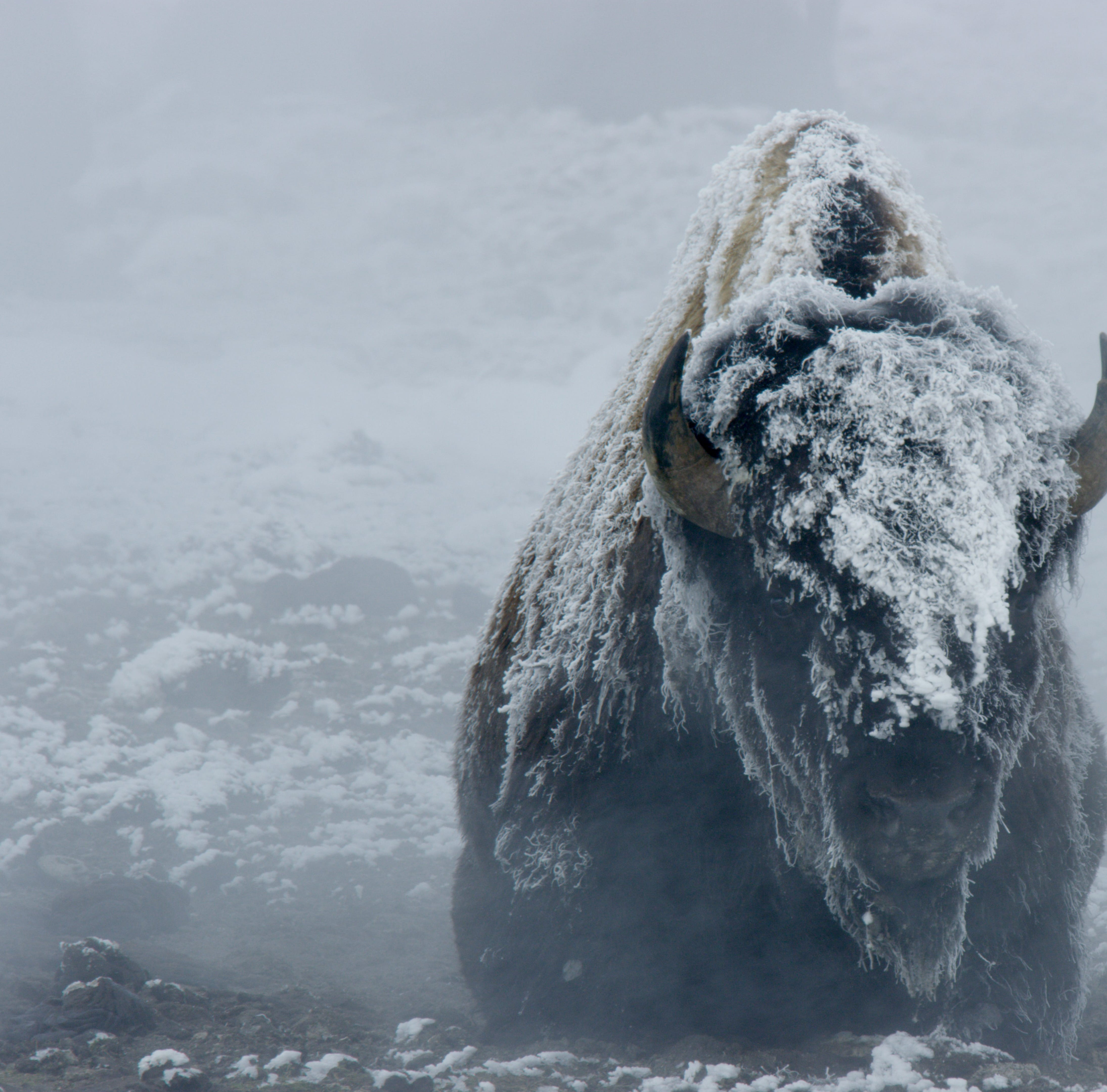 More than 300 Yellowstone National Park bison removed so far
