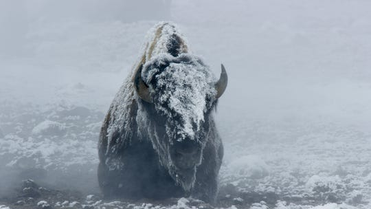 Bison truck through snow in Yellowstone.