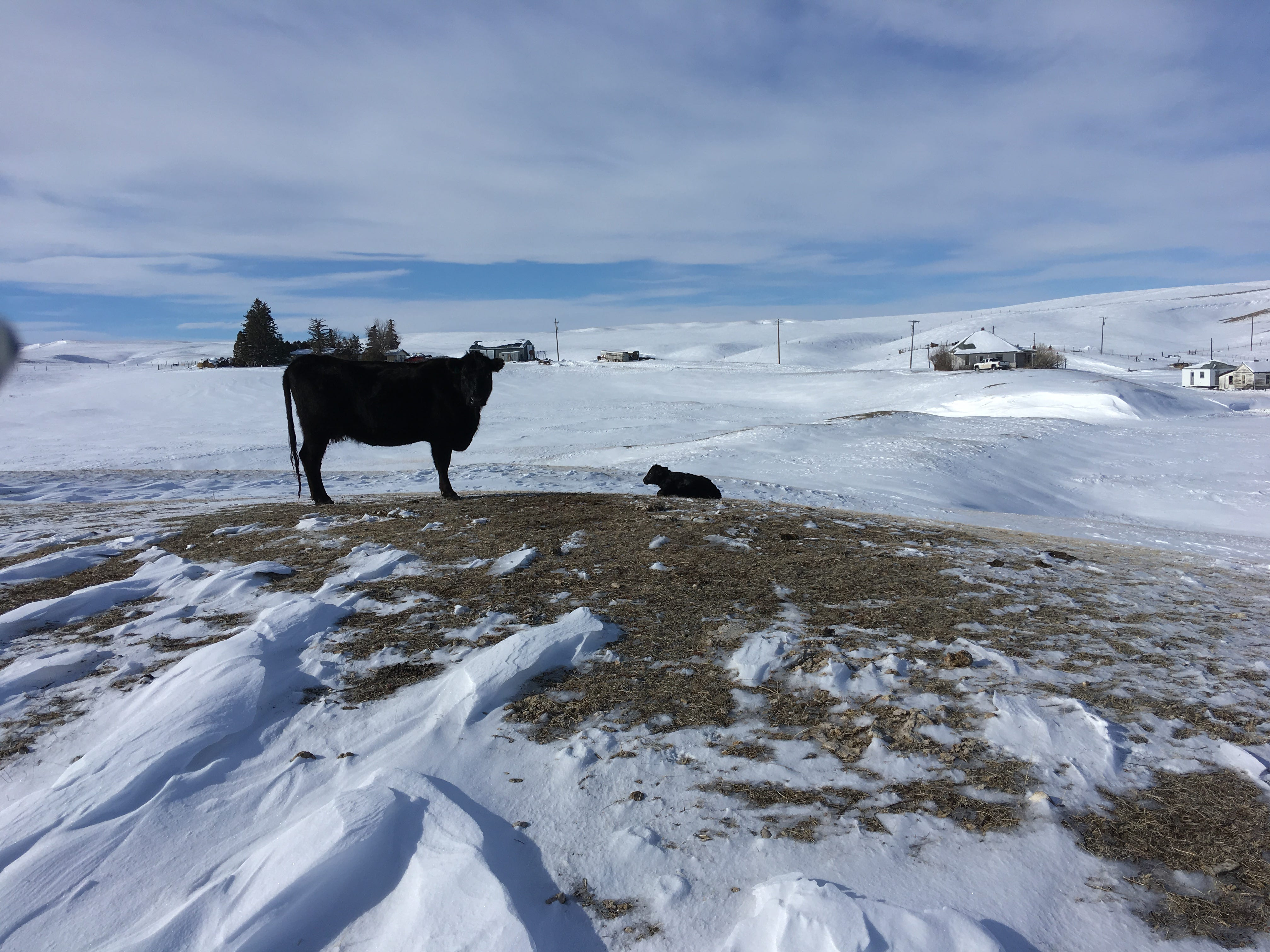 Calving season arrived a little early at the Graham Ranch, foiling a Girls Getaway and adding a dash of excitement to life on the prairie.