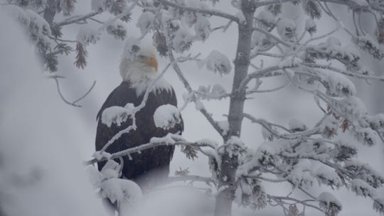 "An eagle waits for winter to finish off an ailing bison in the new series ""Epic Yellowstone."""