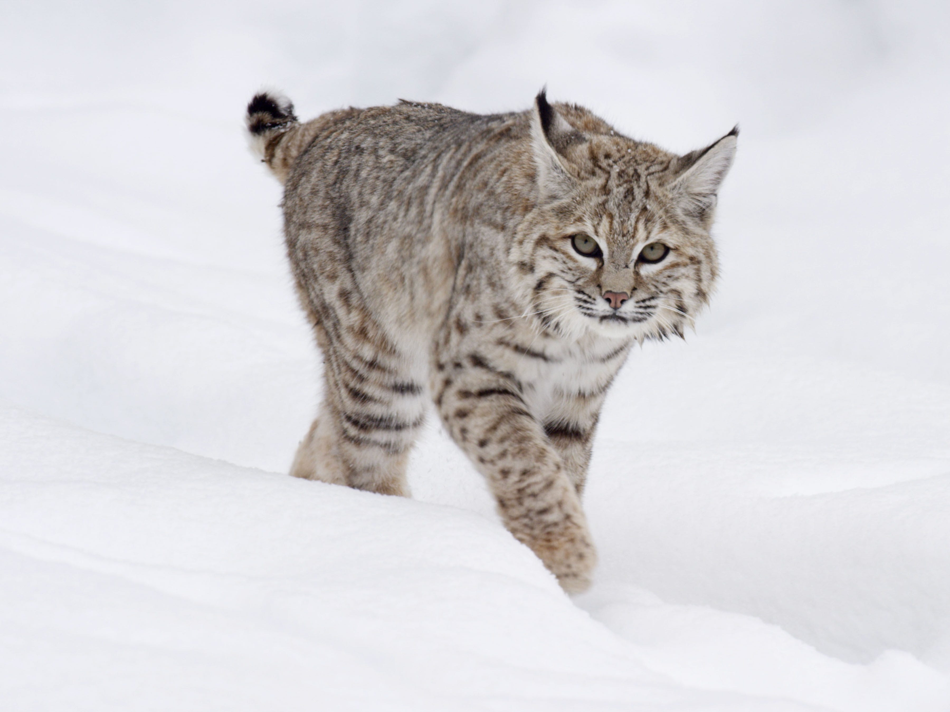 "In one episode of ""Epic Yellowstone,"" filmmakers followed a bobcat who hunted ducks in the Madison River, an unusual niche for the species."