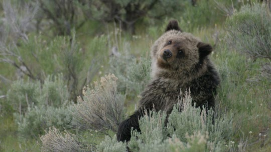 "Among the  bears the crew behind ""Epic Yellowstone"" followed is one called Quad Mom, who gained fame with rare quadruplets."