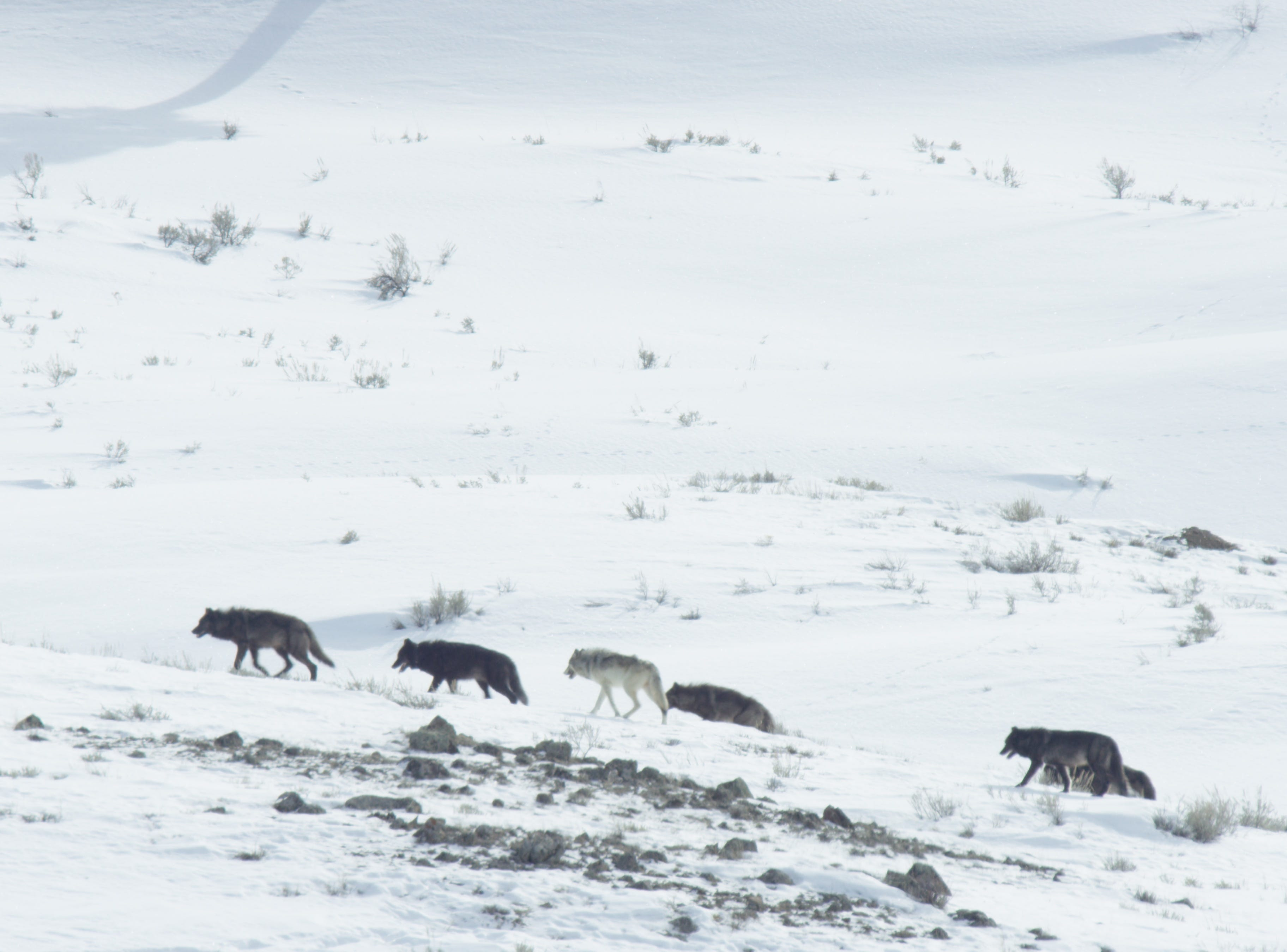 "An episode of the new series ""Epic Yellowstone"" follows a lone wolf as he tries to survive and find a pack to join."