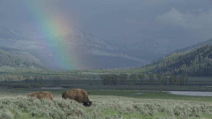 """A new four-part series called """"Epic Yellowstone"""" follows the park and its wildlife through three years."""