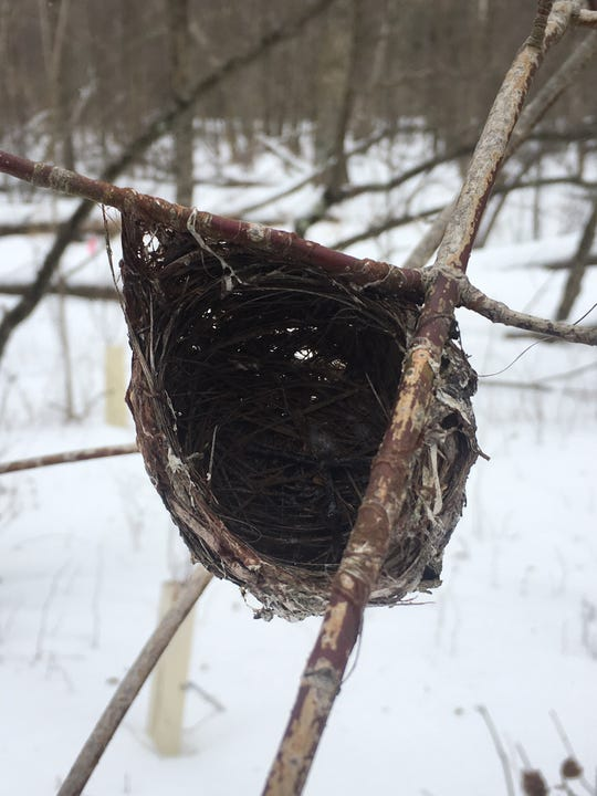 Red-eyed vireo nest at Woodland Dunes in Two Rivers.