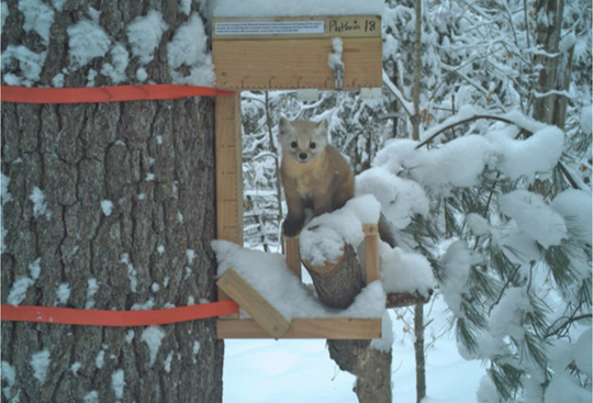 In December 2018 the Wisconsin DNR deployed 120 trail cameras to monitor martens, the state's only endangered mammal.