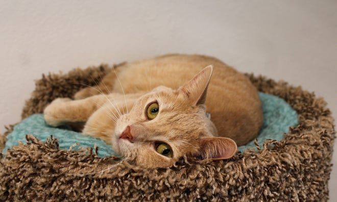 Stardust is available for adoption at Kitty City NM in La Luz.