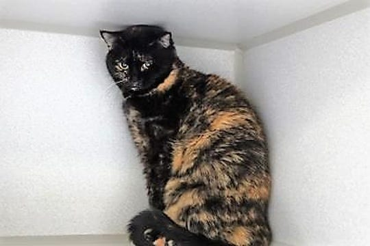 October is a 6-year-old spayed Tortoiseshell.