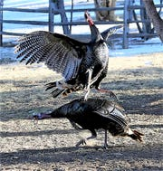 A wild turkey tom spurs an opponent with his sharp toe talons.