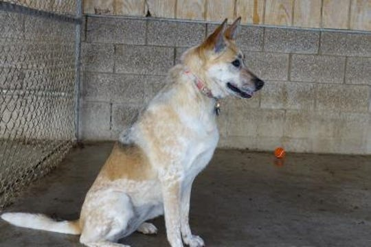 Chai is a 5-year-old Blue Heeler/German Shepherd mix. She is already spayed.