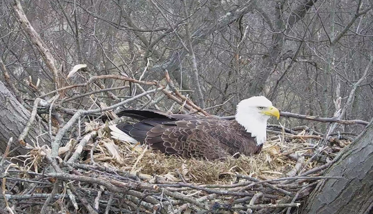 A screenshot of the HDOnTap eagle camera after the eagle laid an egg on Feb. 27, 2019.